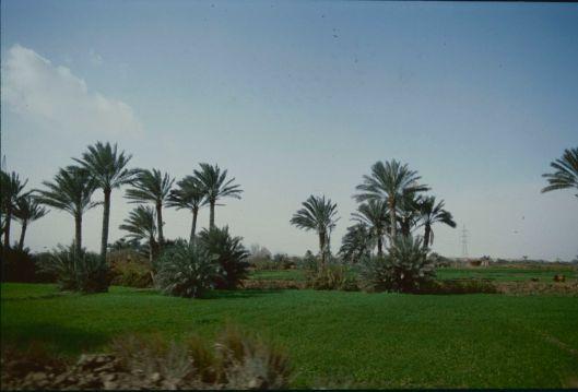 004_Egitto palme 01 180